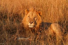 Masai Lion-1