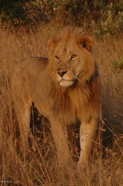 Masai Lion-6
