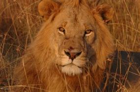 Masai Lion-9