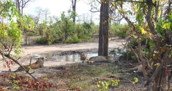 Okavango lion pride at pan